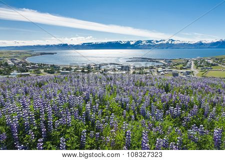 View at Husavik Bay through meadows full of blooming Nootka lupin (Lupinus nootkatensis), Iceland.