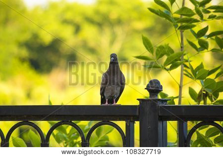 Gray Dove Holding On Fence