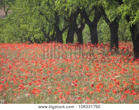 ALMONDTREES AND POPPIES