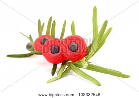Yew Taxus baccata branch and cone fruits