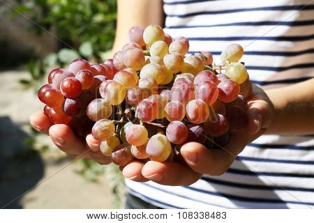 Juicy bunch of red grape in woman hands, close up