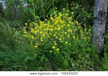 Wintercress Flowers