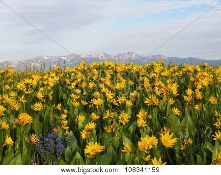 Bright field of many yellow flowers in front of mountains