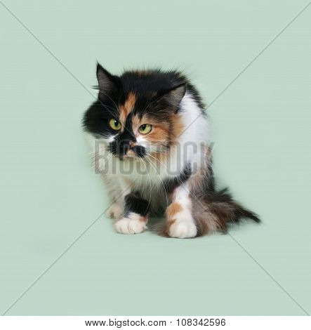 Tricolor Fluffy Cat With Squinting Eyes Sitting On Green