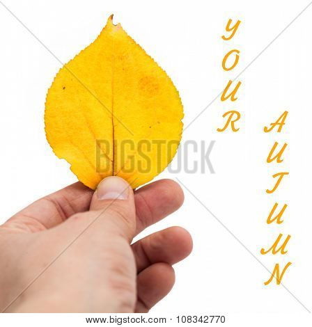 Leaf in hand on a white background. Your autumn.
