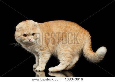 Ginger Scottish Fold Cat Walks Isolated On Black