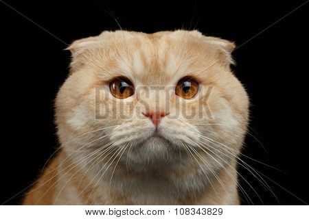 Closeup  Ginger Scottish Fold Cat Looking In Camera Isolated On Black