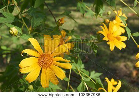 Tree Marigold Bloom In Garden