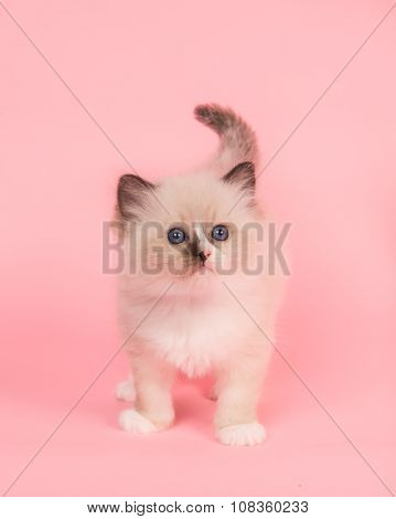 Cute cuddly rag doll baby cat