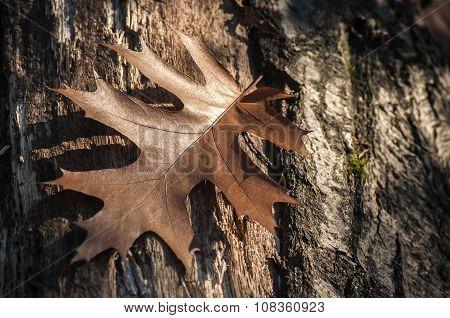 Dry oak tree leaf