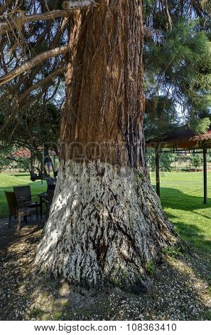 View of giant sequoia (Sequoia sempervirens) in the park