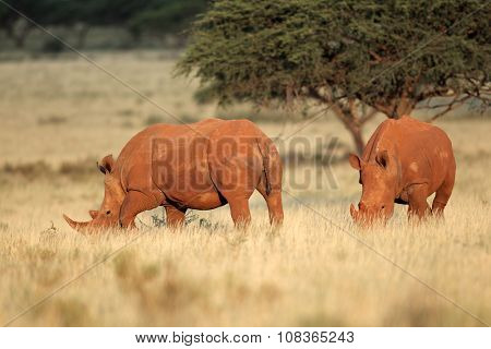 A pair of white rhinoceros (Ceratotherium simum) in natural habitat, South Africa