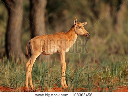 Young calf of a rare tsessebe antelope (Damaliscus lunatus) in natural habitat, South Africa