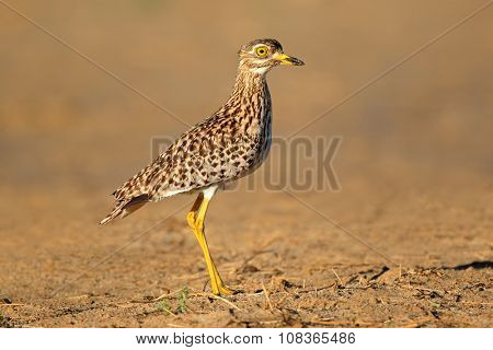 A spotted dikkop (Burhinus capensis) in natural habitat, South Africa