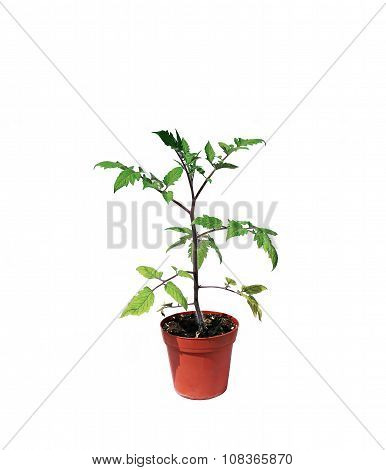 Young Plant Tomato Seedlings In Flowerpot Isolated
