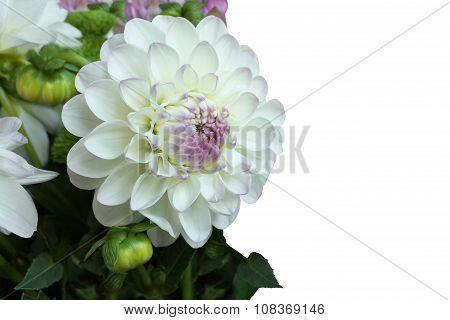 White with pink dahlia on white background
