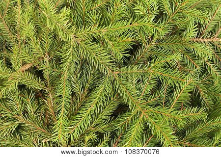 Winter composition - green spruce twigs background