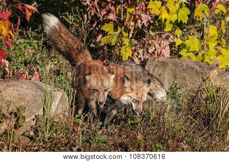 Two Red Fox (vulpes Vulpes) Side By Side