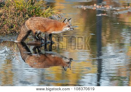 Red Fox (vulpes Vulpes) On Rock Leans Out