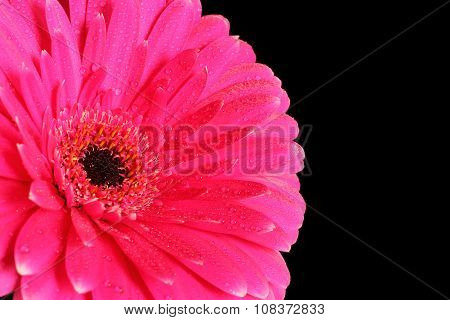 Magenta gerbera with water drops isolated on black background