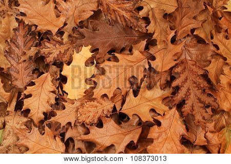 Autumn leaves background - dried brown oak leaves