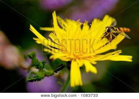 Syrphe (Syrphus Ribesil)