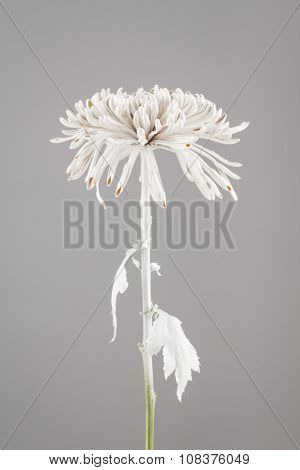 Flower Sprayed With White Paint