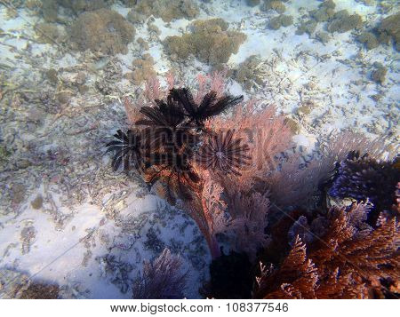 Different Feather Stars, Sumbawa, Indonesia