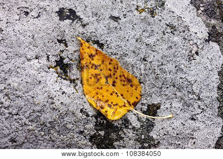 Brown spotted yellow leaf on rock.