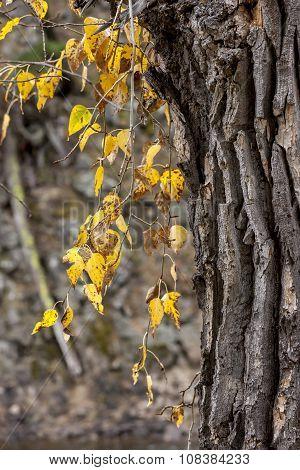 Hanging yellow leaves.