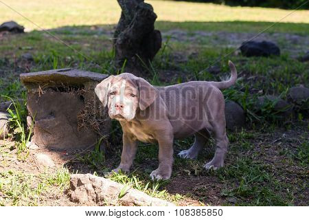 Neapolitan Mastiff Expressive Puppy