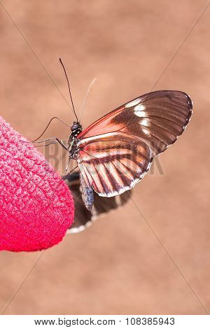 Fragile Red Cattle Heart Butterfly
