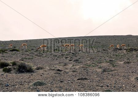 Vicunas In National Park Chimborazo South America