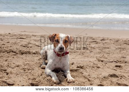 Jack Russell Terrier Stand On Hot Sand