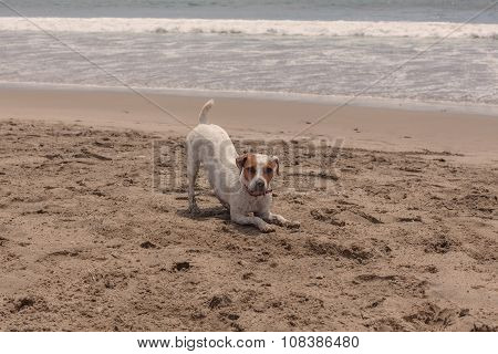Medium Size Jack Russell Terrier