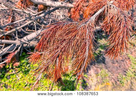 Reddish Branches Of A Tree Or Pine