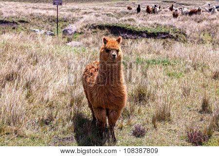 Small Herd Of Llamas Grazing