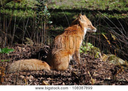 a fox enjoying some sunshine