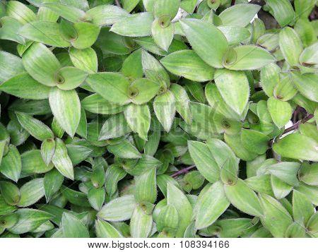 River Spiderwort herb