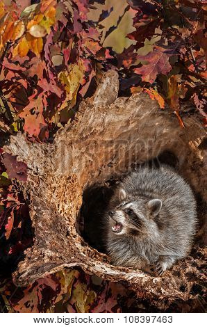 Raccoon (procyon Lotor) Cries Out From Inside Log
