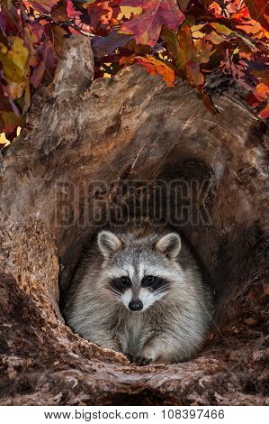 Raccoon (procyon Lotor) Looks Out From Log