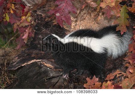 Striped Skunk (mephitis Mephitis) Looks Left In Log