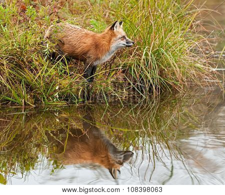 Red Fox (vulpes Vulpes) Looks Right On Shoreline