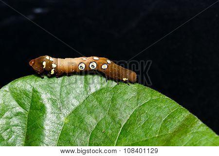 Brown And White Dot Caterpillar Of  Othreis ( Eudocima Falonia ) Moth