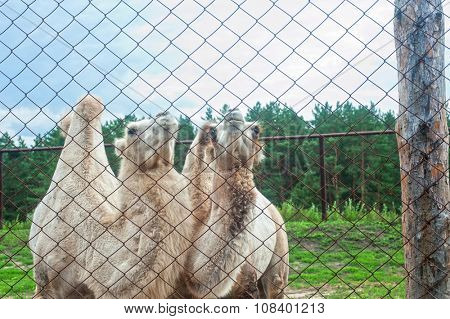 Photo of camels behind bars in zoo
