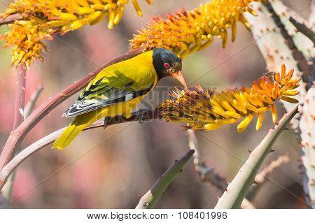 Lack-headed Oriole Sitting On Yellow Aloe Catch Bee