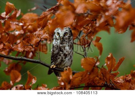 Boreal owl in the orange larch autumn tree, close-up.