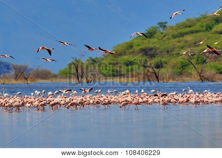 Flamingos On Lake. Kenya, Africa