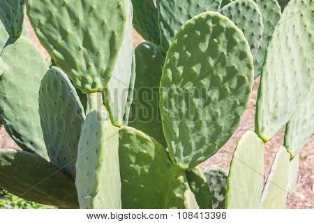 Big Leaves Of A Cactus