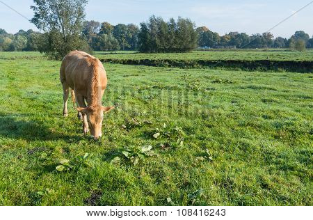 Young Light Brown Cow Eats Grass